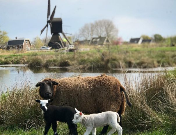 Sheep and Lambs in front of the Westveense Molen