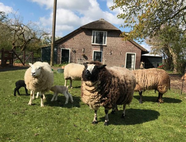 De schapen in de tuin van The Dutch Farmhouse